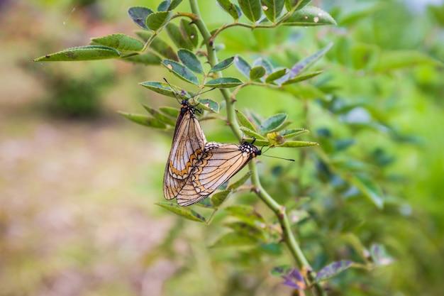Бабочки размножаются на розовых зеленых листьях в саду