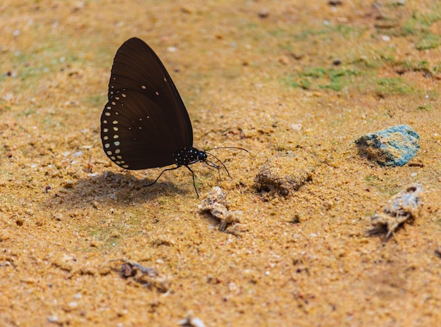 Butterflies are eating minerals on the ground