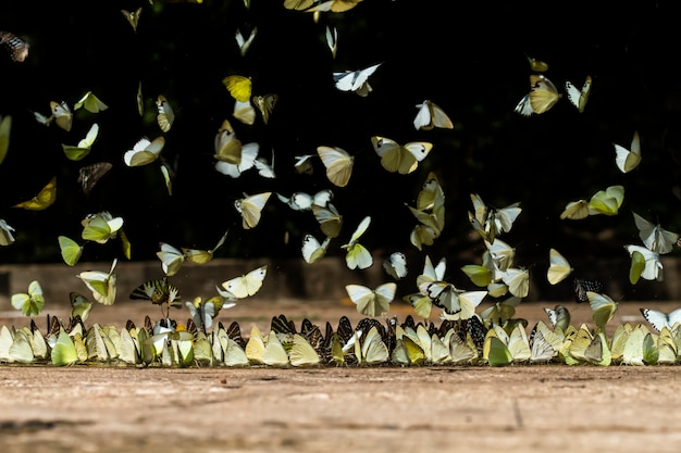 Butterflies eating and fly in nature