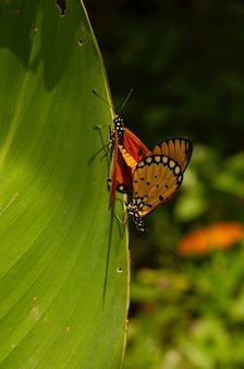 Бабочки в спаривании на зеленом листе