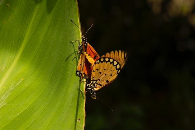 緑の葉に交尾する蝶