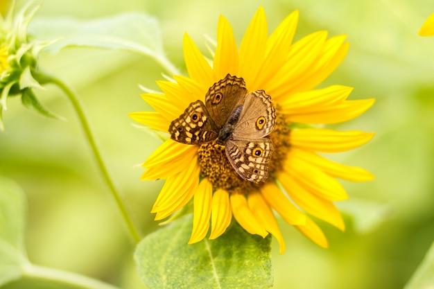 Бабочки садятся на подсолнух красиво утром