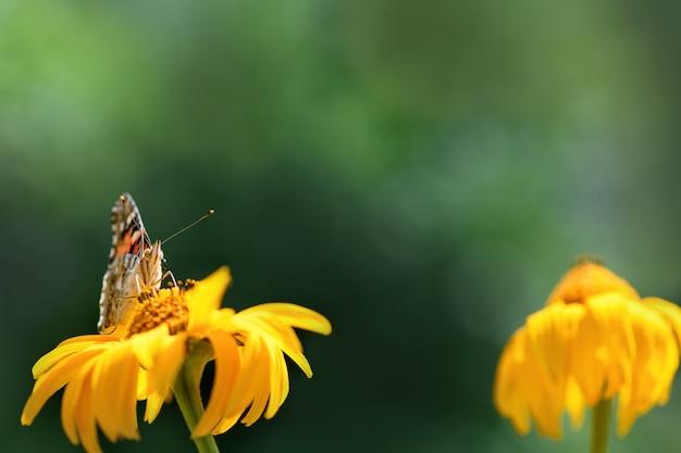 蝶の提督と花。緑のぼやけた背景に晴れた日に黄色い花の美しい蝶。春と夏の背景。大きい