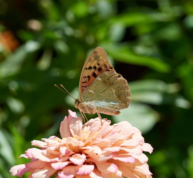 Butterfly argynnis pandora sits on a pink bud of zinnia flower