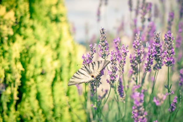 Бабочка у куста лаванды. тонированный крупным планом выстрел