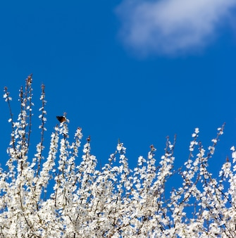 The butterfly on the branches of a flowering spring tree. free space for text. copyspace. selective focus