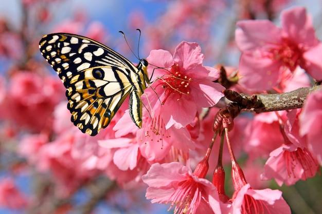 Butterfly on cherry blossom flower