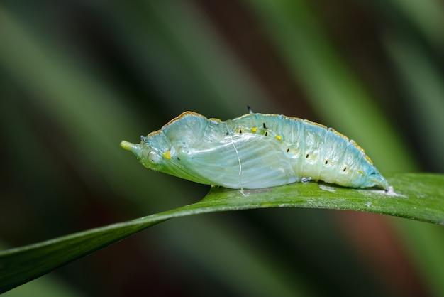孵化に近い蝶の蛹