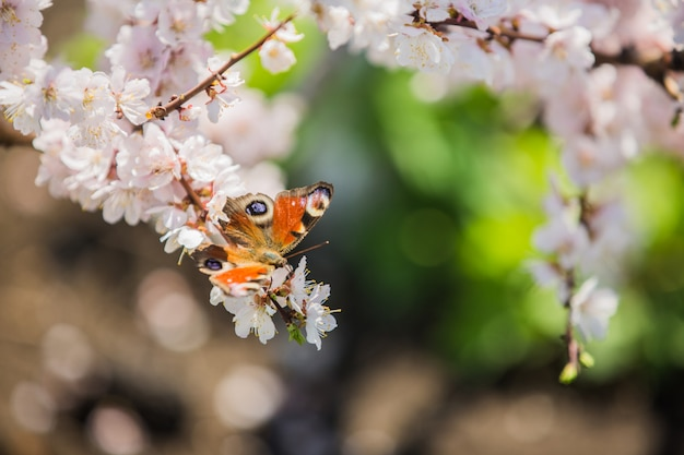 Butterfly collects nectar on the flowers of apple tree in spring