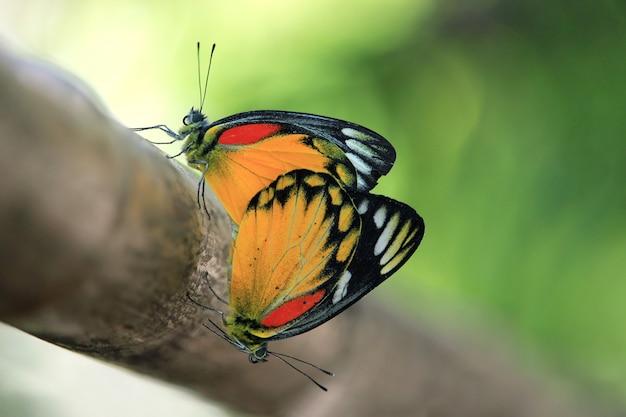 나무에 짝짓기하는 나비 커플