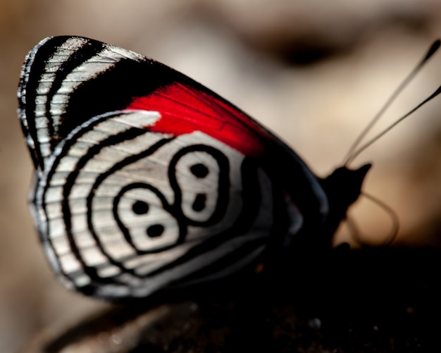 Butterfly diaethria also called 88