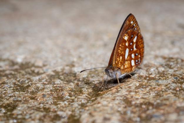 Бабочка пьет жидкость из земли