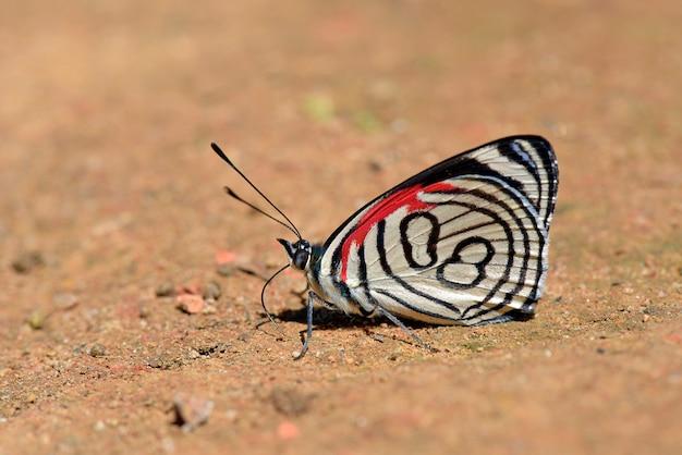 Бабочка восемьдесят восемь кормит на грязном полу