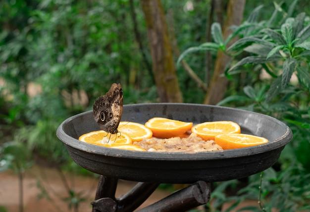 Butterfly feeding, sitting in a fruit trough