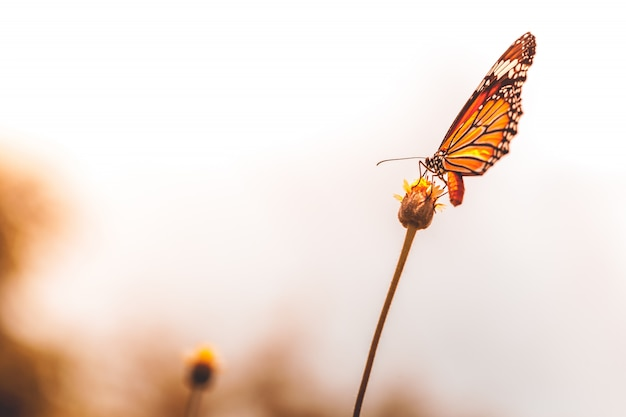 Butterfly  flies to find yellow flowers to find food.