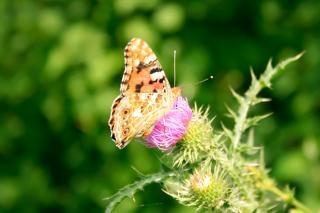 Бабочка, полет