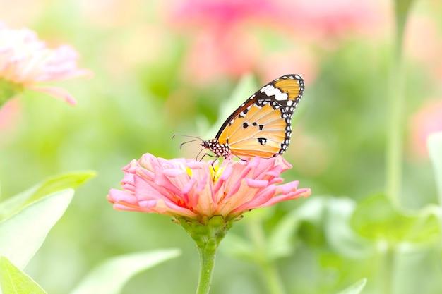 Butterfly on flowers, plain tiger (danaus chrysippus)