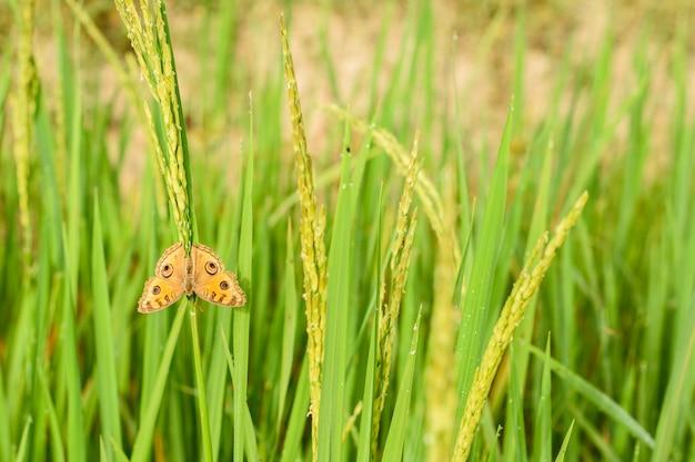 Бабочка висит на рисе