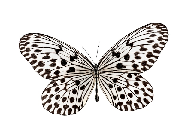 Butterfly idea hypermnestra, isolated on white