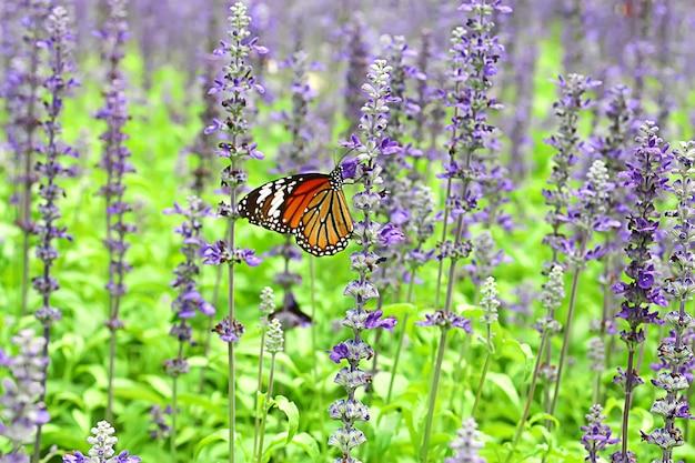 Бабочка в красочном лавандовом поле