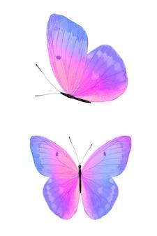 나비 흰색 절연입니다. 보라색과 분홍색의 날개. 고품질 사진