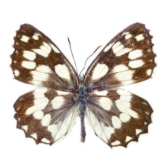 白に分離された蝶