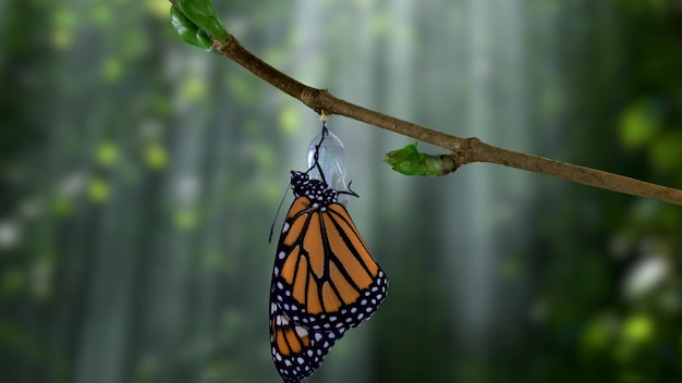 A butterfly just hatched from a chrysalis