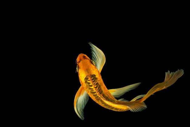 검은 배경에 나비 잉어 물고기