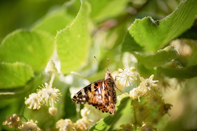 Butterfly on linden blossom.