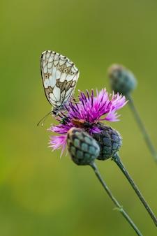 Бабочка мраморная белая (melanargia galathea) на цветке (cirsium arvense)
