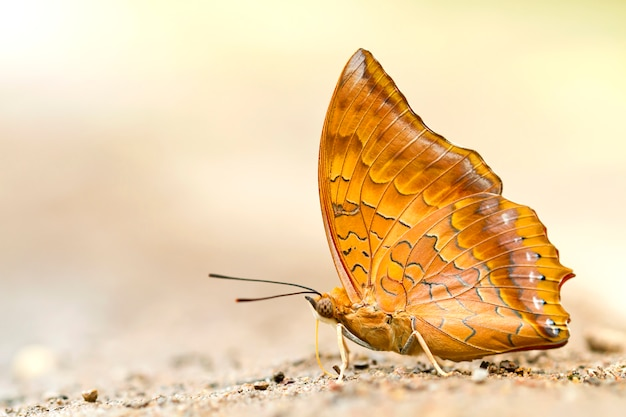 Butterfly in nature, yellow rajah (charaxes marmax)