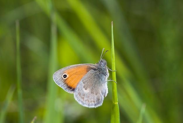 Coenonympha의 나비, 그림은 네이티브 서식지의 들판에서 만들어집니다.