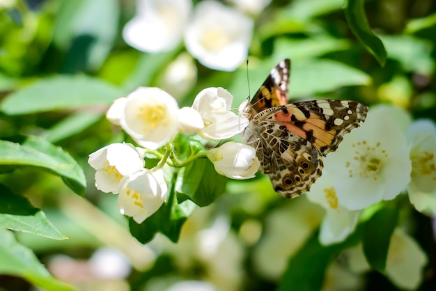 Бабочка на ветке цветущего жасмина