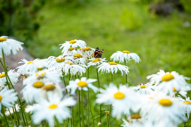 花を蝶します。咲くデイジー。カモミールの花の上に座ってカラフルな君主蝶。蝶、太陽の光で自然の壁に夏の春の野のカモミールヒナギク