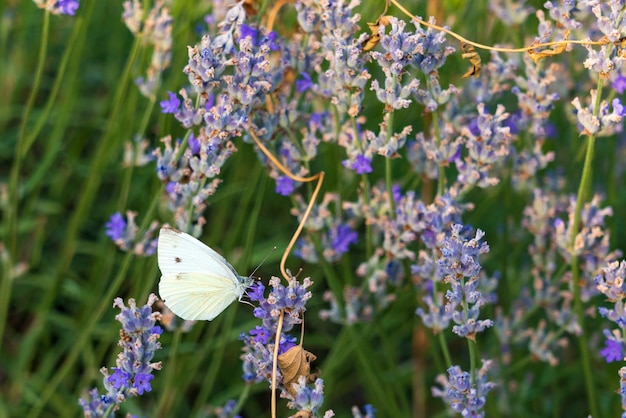 Бабочка на цветке лаванды
