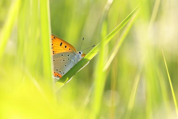 夜明けの春の牧草地の蝶