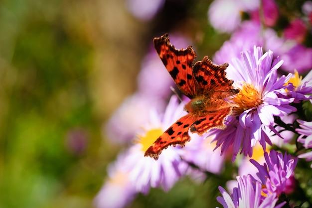 晴れた日の緑の焦点がぼけた自然の背景上のライラックデイジーの花の蝶。セレクティブフォーカス。はがき