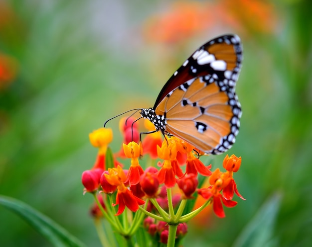 Бабочка на оранжевом цветке в саду