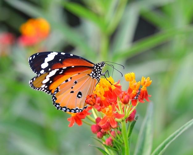 Бабочка на оранжевом цветке