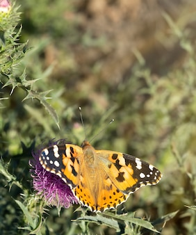ごぼうの花に蝶。牧草地の蝶。