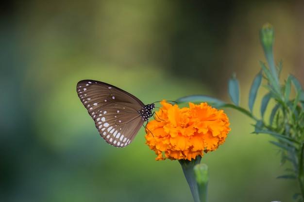 マリーゴールドの花を蝶します。