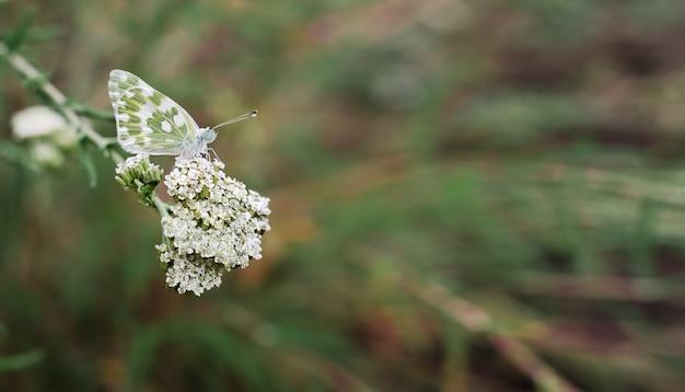 Бабочка на белых цветках в поле