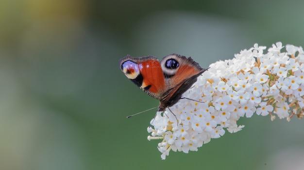 Бабочка на белом цветке гортензии