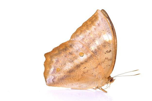Бабочка на белом