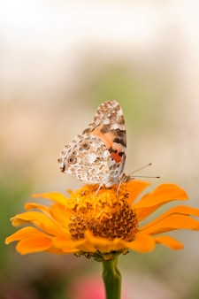 Butterfly on a orange flower