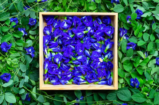 Butterfly pea or blue pea flower. top view