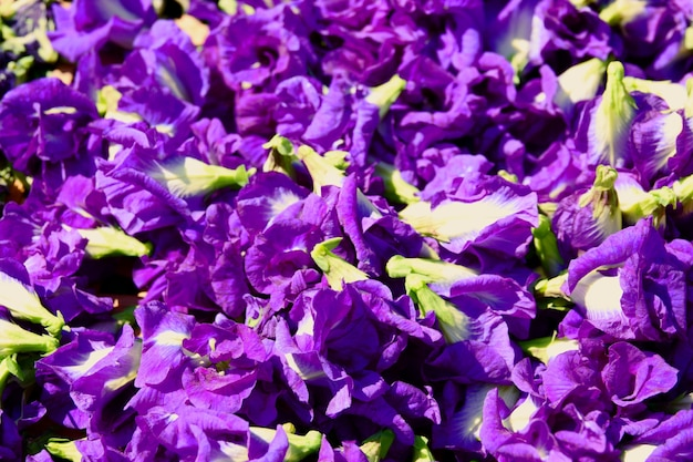 Butterfly pea flower dries in basket for mix with hot water to drinking