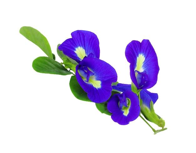 蝶エンドウ豆の花は白い背景で分離