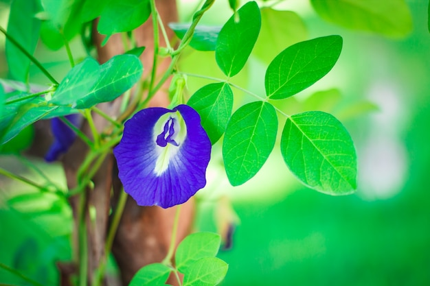 Butterfly pea flower medicinal herbs.