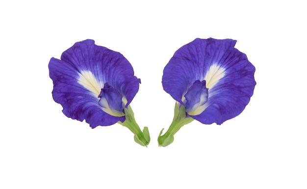 白の蝶エンドウ豆の花